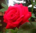 amore cieco la rosa.jpg